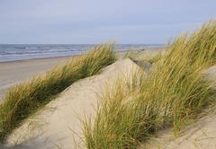 Marram grass (ammophila arenaria) on a dune near the north sea beach at vejer Stock Photos