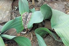 Welwitschia (welwitschia mirabilis subsp mirabilis), rarity, namibia Stock Photos