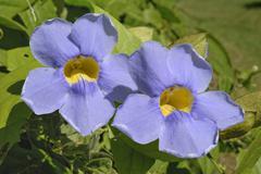 Clockvine (thunbergia grandiflora), climber, st. croix island, u.s. virgin is Stock Photos