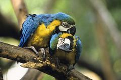 blue-and-yellow macaws (ara ararauna), pair grooming, south america - stock photo