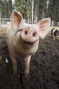 Domestic pig (sus domestica) at an organic farm Kuvituskuvat