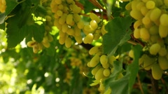 Grapes Wine Stock Footage