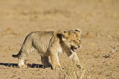 Stock Photo of lion pup, cub (panthera leo), kgalagadi transfrontier national park, gemsbok