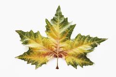 plane leaf, kerr\'s plane, (platanus kerrii gagnepain), autumn leaf - stock photo