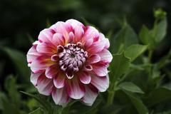flowering dahlia (dahlia) - stock photo
