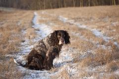 Stock Photo of german spaniel or deutscher wachtelhund, hunting dog