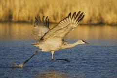 Sandhill crane (grus canadensis), adult taking off, bosque del apache nationa Stock Photos