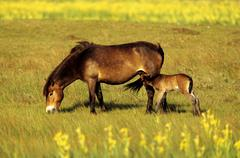 Stock Photo of exmoor pony (equus caballus), mare with suckling foal, in the dunes of texel,