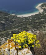 Golden alyssum (alyssum saxatile) near lubenice on cres, croatia, europe Stock Photos