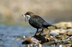 Dipper (cinclus colchicus) on a stone with a small fish in its beak for its y Stock Photos