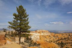 Limber pine (pinus flexilis), bryce canyon national park, utah, usa Stock Photos