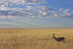 Stock Photo of springbok (antidorcas marsupialis), antelope, etosha national park, namibia,