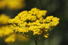 Stock Photo of blossom of yellow yarrow (achillea hybrids), garden plant