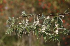russian silverberry, oleaster, or russian-olive (elaeagnus angustifolia), bra - stock photo