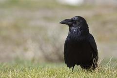 Common raven (corvus corax), yellowstone national park, wyoming, idaho, monta Kuvituskuvat
