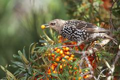 Starling (sturnus vulgaris) eating a sea-buckthorn berry (hippophae rhamnoide Stock Photos