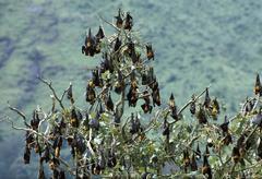 Flying foxes (pteropus giganteus) sleeping in tree, india, asia Stock Photos
