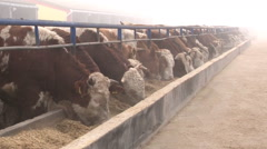 A herd of simmental cattle on the farm; cattle feeding Stock Footage