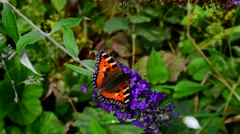 Close Up of a Tortoise Shell Butterfly Perching on a Buddleia Flower Stock Footage