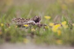 Western diamondback rattlesnake (crotalus atrox), adult in defense posture, s Kuvituskuvat
