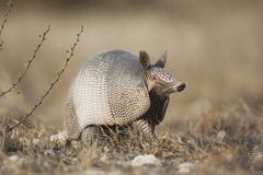 Nine-banded armadillo (dasypus novemcinctus), adult, sinton, corpus christi,  Stock Photos