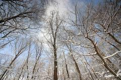 Stock Photo of treetops in winter with snow
