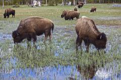 american bison or american buffalo herd (bison bison), yellowstone national p - stock photo