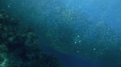 Shoal of sardines swimming above coral reef Stock Footage