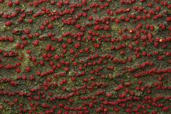 Stock Photo of nectria cinnabarina (nectria cinnabarina), two types of fruiting bodies: rasp