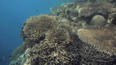 Thriving healthy coral reef - stock footage