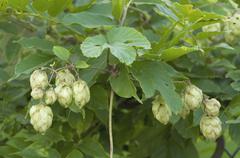 Hops (humulus lupulus), female inflorescences Stock Photos