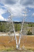 Stock Photo of dead trees on the upper geyser basin, yellowstone national park, wyoming, usa
