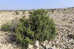 Juniper bush, barren landscape near kosljun, pag island, dalmatia, adriatic s Stock Photos