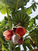 Stock Photo of banana tree (musa) with flowers, phuket, andaman sea, thailand, asia