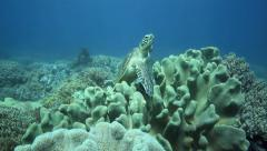 Green sea turtle resting on soft coral bed Stock Footage
