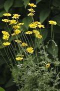 alpine marguerite daisy (anthemis marschalliana), garden plant - stock photo