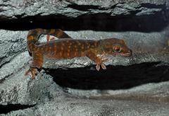 giant cave gecko (pseudothecadactylus lindneri australis) - stock photo