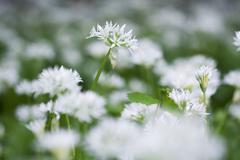 Stock Photo of ramson (allium ursinum), meadow