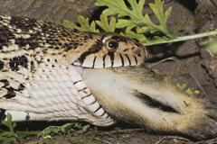bullsnake (pituophis catenifer sayi), adult swallowing eastern cottontail (sy - stock photo