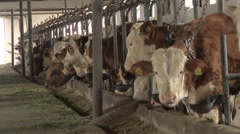 A herd of simmental cattle in the farm stable Stock Footage