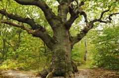 century-old oak (quercus) in the naturschutzgebiet insel vilm nature reserve  - stock photo