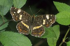 Stock Photo of map butterfly (araschnia levana), second or summer generation individual