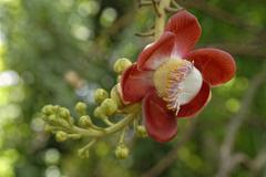 Flower of the cannonball tree (couroupita guianensis), st. croix island, u.s. Stock Photos