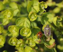 Leaves of stonecrop (sedum) and ladybird in lubenice on cres, croatia, europe Stock Photos