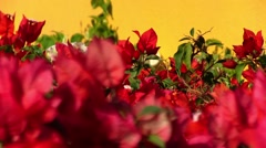 Bougainvillea flowers 1 Stock Footage