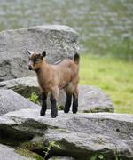 Young domestic goat (capra aegagrus hircus), schladminger tauern, styria, aus Stock Photos