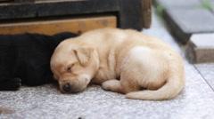 A 29-day Labrador puppy sleeping Stock Footage