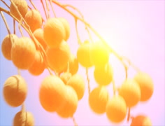 longan fruits in the garden - stock footage