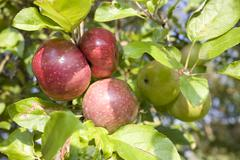 Apples (malus domestica) from organic farming Stock Photos