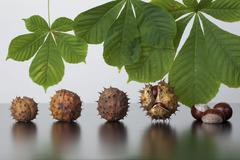Horse chestnut (aesculus hippocastanum), leaves and fruit with and without ca Stock Photos
